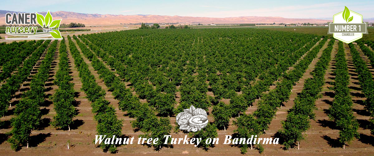 Walnut Saplings, Walnut Seedlings, Walnut tree on Turkey